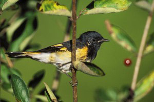 Deadbeat Redstarts Get a Head Start