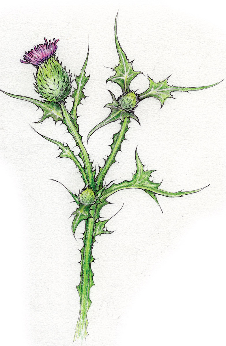 How to Eat a Thistle? Very Carefully | Knots and Bolts