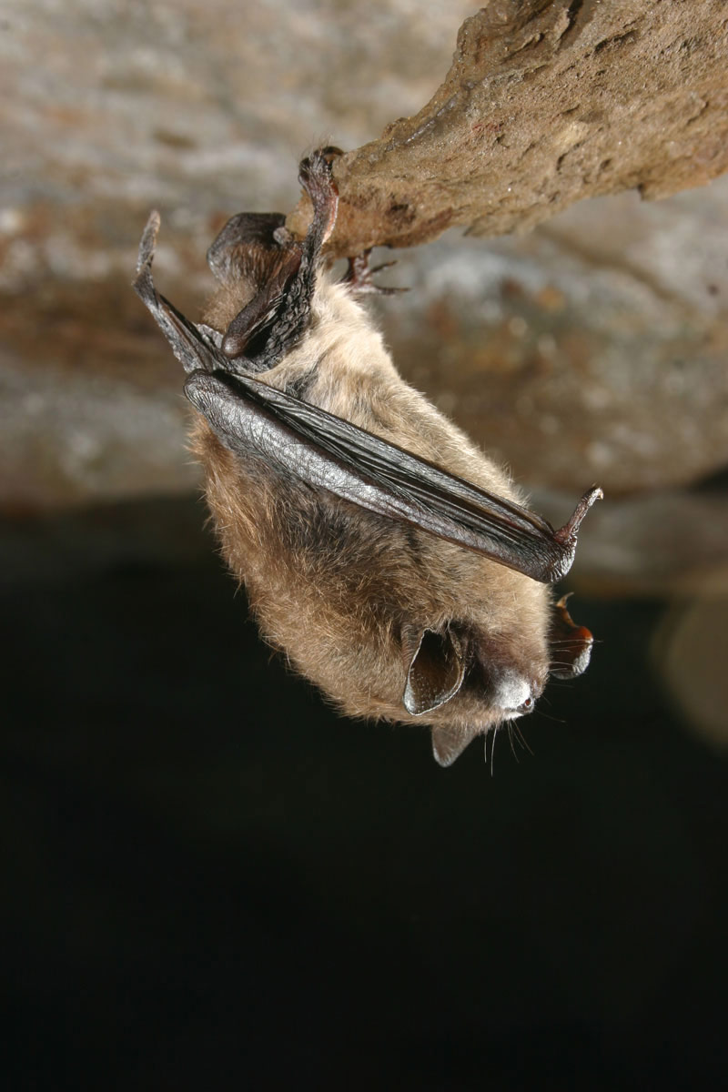 Little Brown Bat With Fungus On Muzzle Photo By Al Hicks Nydec