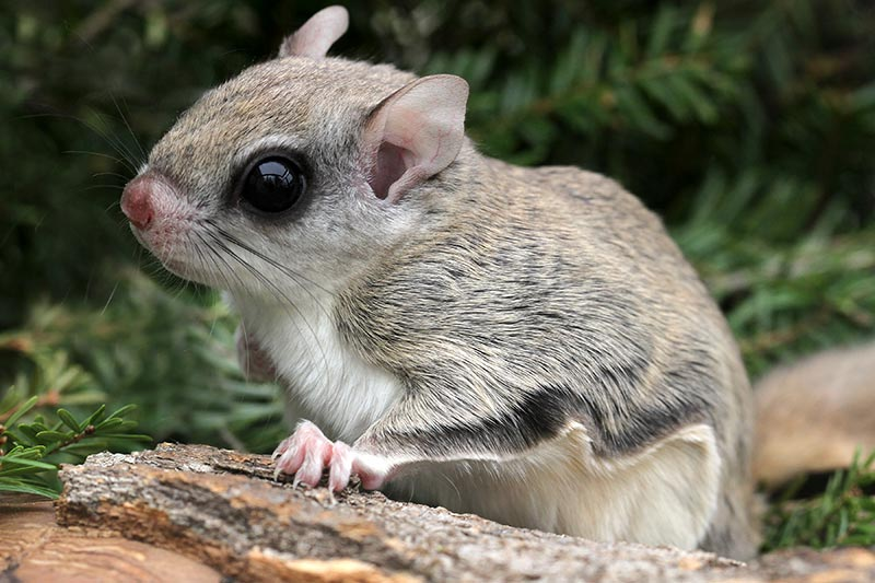 Flying Squirrels Visiting Bird Feeders | Knots and Bolts