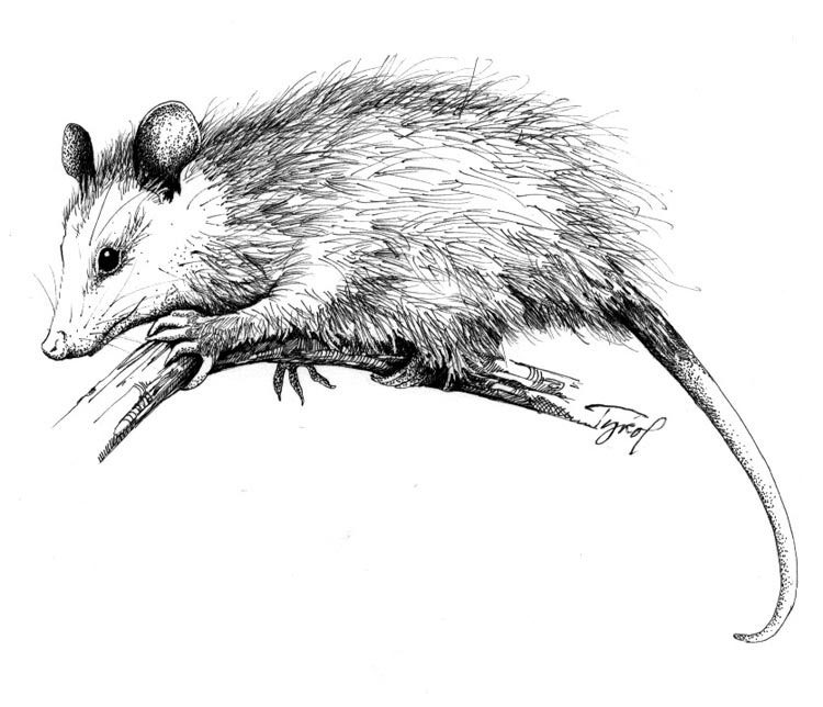 opossums find cold comfort in new england�s winters the
