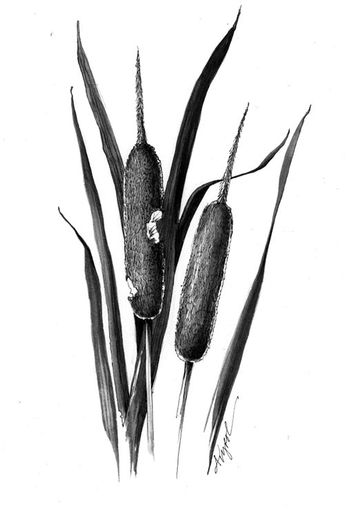 cattails nature s supermarket the outside story