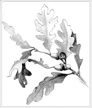 kakawate leaves as a regulator of