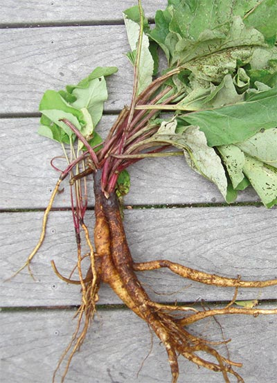Burdock: A Food That Will Really Grab You Image