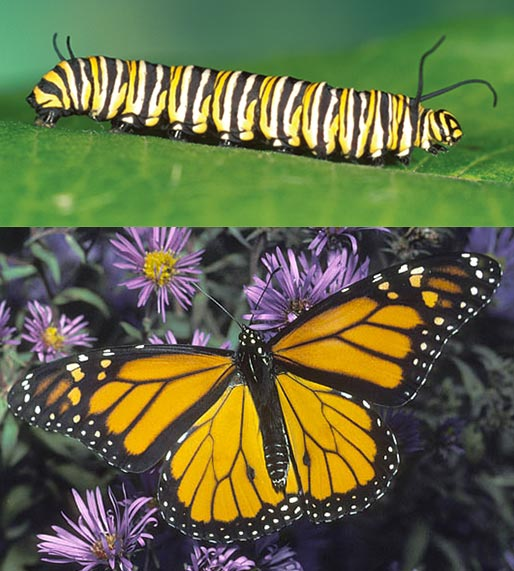 transformations  which caterpillar becomes which butterfly