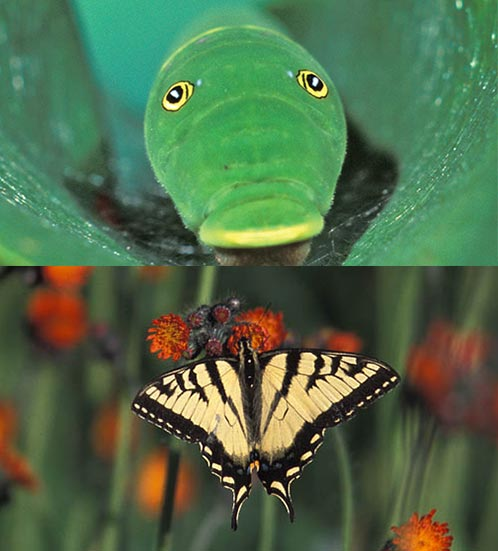 Transformations: Which Caterpillar Becomes Which Butterfly? Image