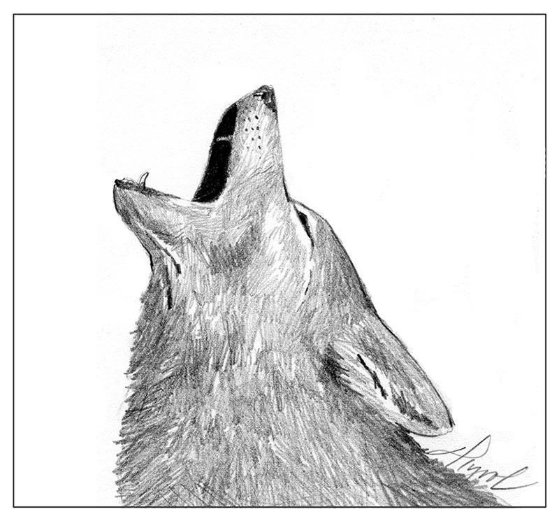 coyotes listening to tricksters the outside story