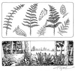 Ferns: World Travelers and Visual Delights