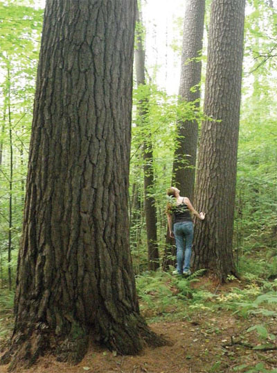 How Can I Tell If My Woods Are Old Growth