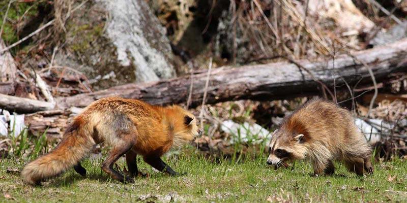 raccoon articles