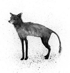 How Mange, a Terminal Disease, Afflicts Red Fox