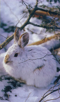 Thinned Thickets Lose Hare