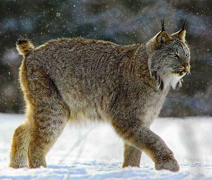 Worksheet. Ghost Cats of the Northern Forest Canada Lynx on the Move