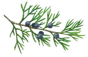 Eastern Redcedar  Juniperus virginiana   Winter 2004