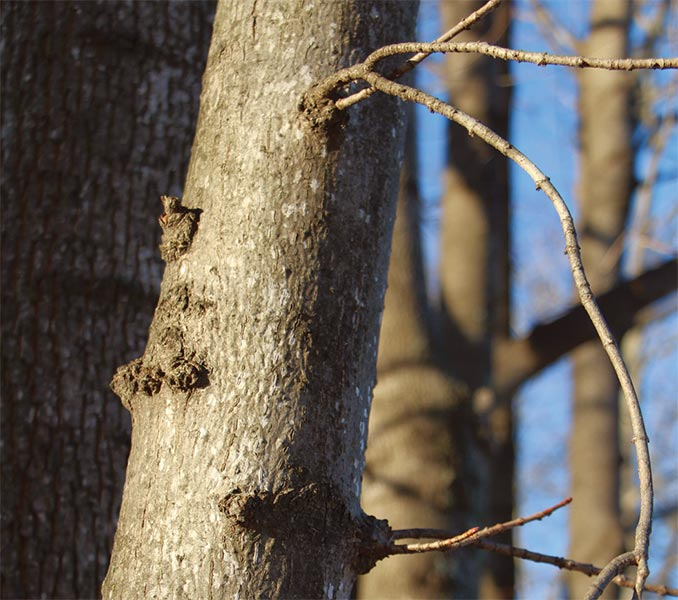 Woods Whys: Self-Pruning Branches | Articles | Woods Whys