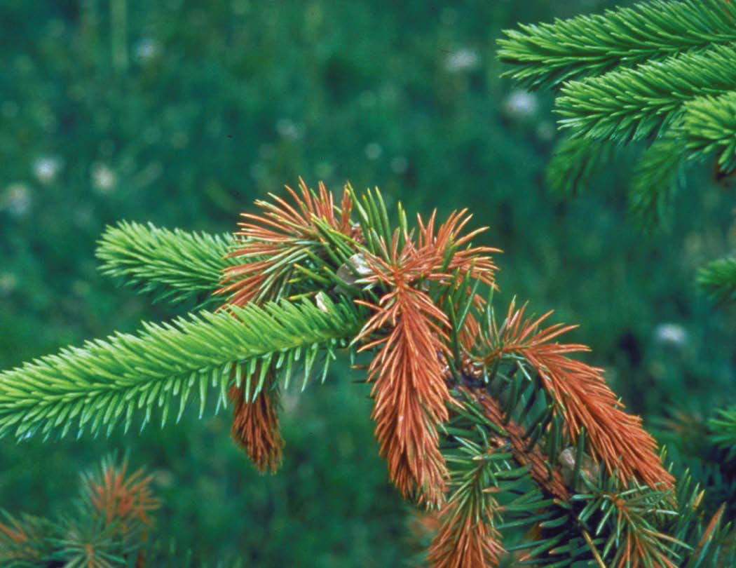 why do some spruce trees appear reddish in winter