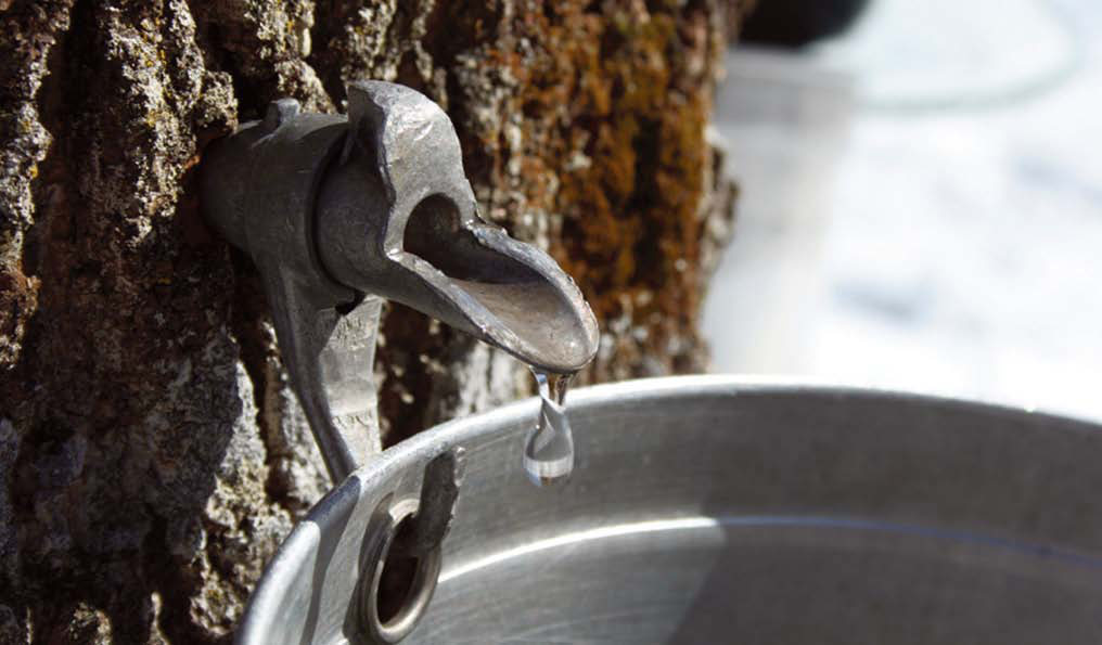de53f4d5b4b When is the Best Time for Sugarmakers to Tap their Maple Trees ...