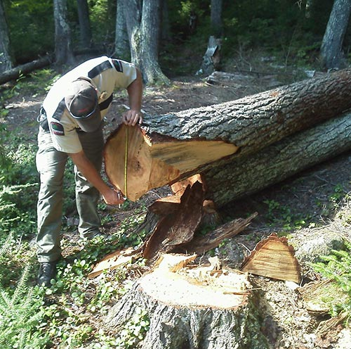 Cutting Down on Crime: The Battle Against Timber Theft Image