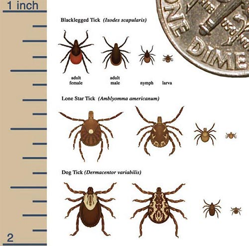 Tale of the Tick: How Lyme Disease is Expanding Northward Image