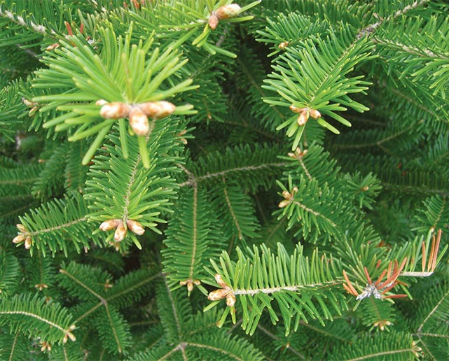 Woods Whys Needles Vs Leaves Winter 2014 Articles