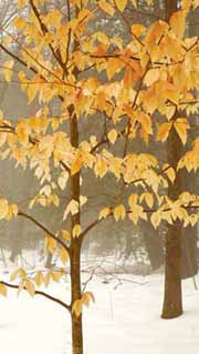 Why Do Some Leaves Persist On Beech and Oak Trees Well Into Winter?