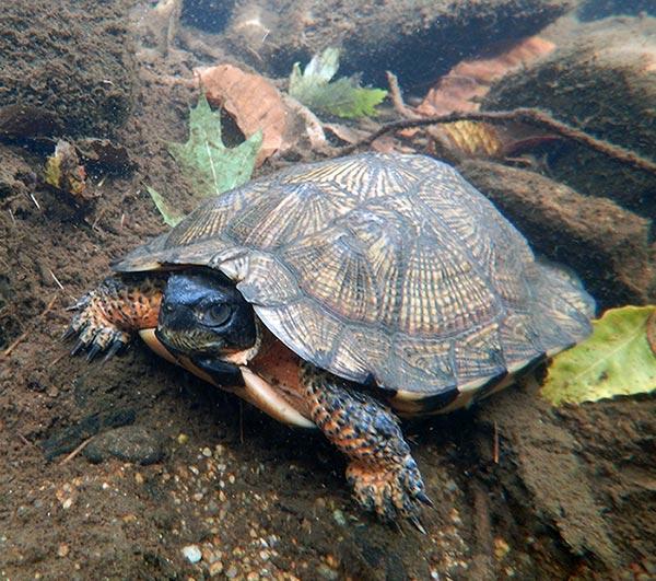 paint: Painted Turtle Ontario Pet