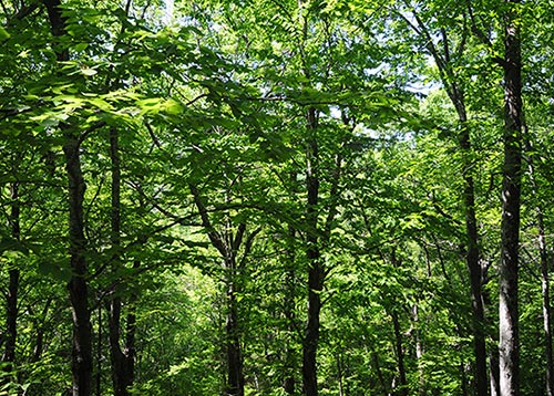 Beech Maple Forest ~ June reader photo gallery