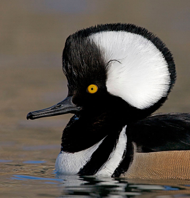 Ducks, Beautiful Ducks: A Portfolio of Pintails, Woodies, and Butterballs   Autumn 2011 ...
