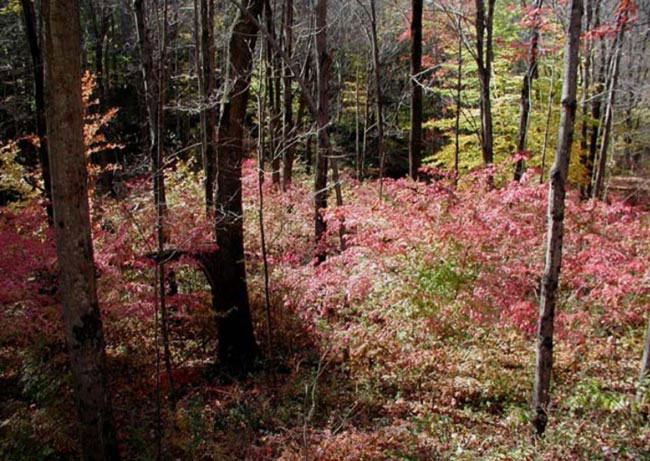 Woodland Invasives Doing Battle With Non Native Plants
