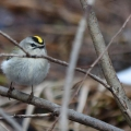 "Bethel, VT. ""I took this photo of a golden-crowned kinglet in a wetland on our property...on April 7th.  We got about four inches of snow the day before, most of which quickly melted in the sunshine."" Credit: Ken Hatch"