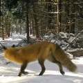 "First of two: Hermon, ME. ""A red fox eyes the snowmobile trail before crossing."" Credit: Ed Baum"