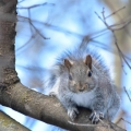 "Marcellus, NY. ""Stare down!"" This gray squirrel means business. Credit: Susan March"