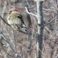 "North Hero, VT. This flicker ""arrived during an unusually warm spell. I hope it made it through the blizzard that came a few days later."" Credit: Mary Jane Grace"