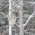 Hermon, ME. Barred owl in a snowstorm. Credit: Ed Baum