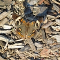 "Snydertown, PA. ""A very welcome visitor to my October garden, a buckeye butterfly."" Credit: Bonnie Honaberger"