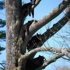 "Center Harbor, NH: ""On the morning of May 14th we looked out to find this mother bear and her 3 cubs hanging out in our old tree.  They stayed and napped for over an hour before wandering back to the woods again."" Credit: Kathryn Earl"