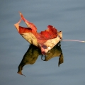"Jeffersonville, VT. ""A stiff breeze blew this sugar maple leaf into a pond."" Credit: Charlie Schwarz"