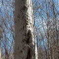 "Western Catskills, NY. ""Black bear cub training tree on American beech."" Credit: Collin Miller"