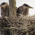 Glover, VT. Great blue heron chicks. Credit: Edwin Young