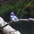 Buckland, MA: A belted kingfisher on a fallen tree. Credit: Helene Grogan
