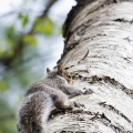 Thetford, VT: A baby gray squirrel not-so-gracefully scaling a tree. Credit: Tig Tillinghast