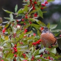 Plymouth, NH. Robin gorges on winterberry holly. Credit: Eric D'Aleo