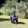 "Thetford Center, VT: ""Bear on my lawn."" Credit: Ted La Montagne"