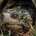 "Berlin, VT: ""An old, large, common snapping turtle."" Credit: Josh Blouin"