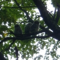 "Milton, VT: ""Three baby barred owls roosting together during my walk with my 3 dogs."" Credit: Angela Myers"