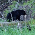 "Buckland, MA. ""Black bear on fallen tree."" Credit: Helene Grogan"