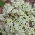 Eaton, NH: A beetle on (and perhaps helping to pollinate) blooming hobblebush (Viburnum lantanoides). Credit: Shane Gurney