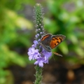 "Snydertown, PA. ""American copper butterfly on one of my blue vervain plants."" Credit: Bonnie Honaberger"