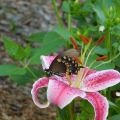 "Snydertown, PA. ""Black swallowtail on my oriental lily."" Credit: Bonnie Honaberger"