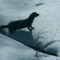 "Buckland, MA. ""A mink paused on the (very bright) snow before diving back under the ice."" Credit: Helene Grogan"
